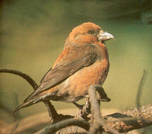 Adult Male Red Crossbill<br />Rockford