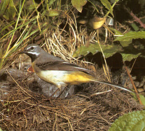 Adult Male Gray Wagtail<br />Grafton