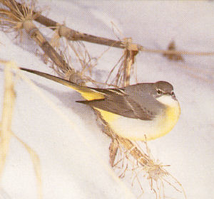 Female Adult Gray Wagtail