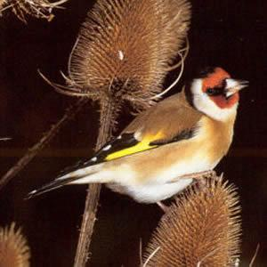 Adult Goldfinch - Bugle