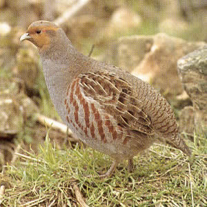 Male Gray Partridge