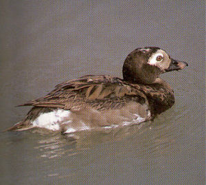 Male Long-tailed Duck