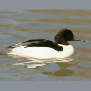 Male Adult Common Merganser