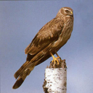 Female Northern Harrier<br />New Hope
