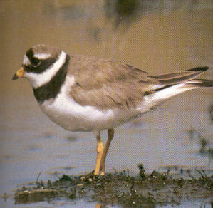 Adult Common Ringed Plover