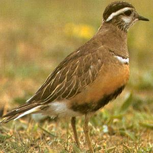 Female Eurasian Dotterel