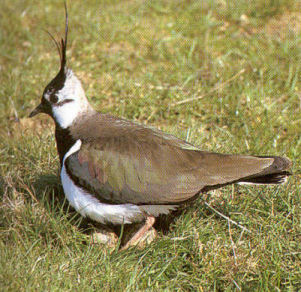 Adult Northern Lapwing