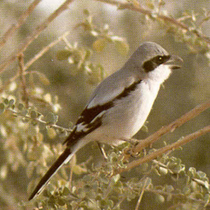 Male Adult Northern Shrike
