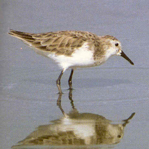 Adult Little Stint