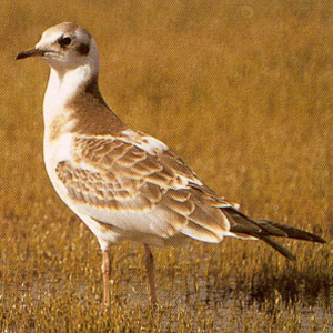 Juvenile Black-headed Gull