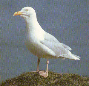 Adult Glaucous Gull