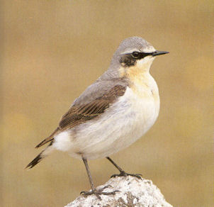 Male Adult Northern Wheatear