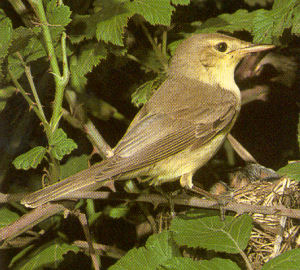 Adult Melodious Warbler<br />Victorville